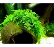 Musgo christmas (Versicularia Montagnei) 5x5cm